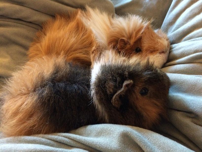 guinea pigs cuddling