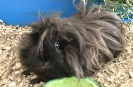 Cookie the guinea pig