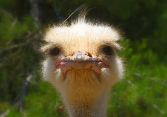 ostrich with grumpy face