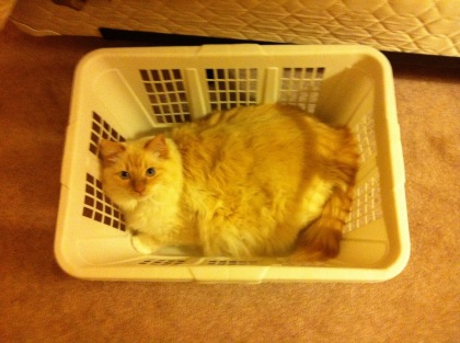 Twies the cat sitting in a laundry basket