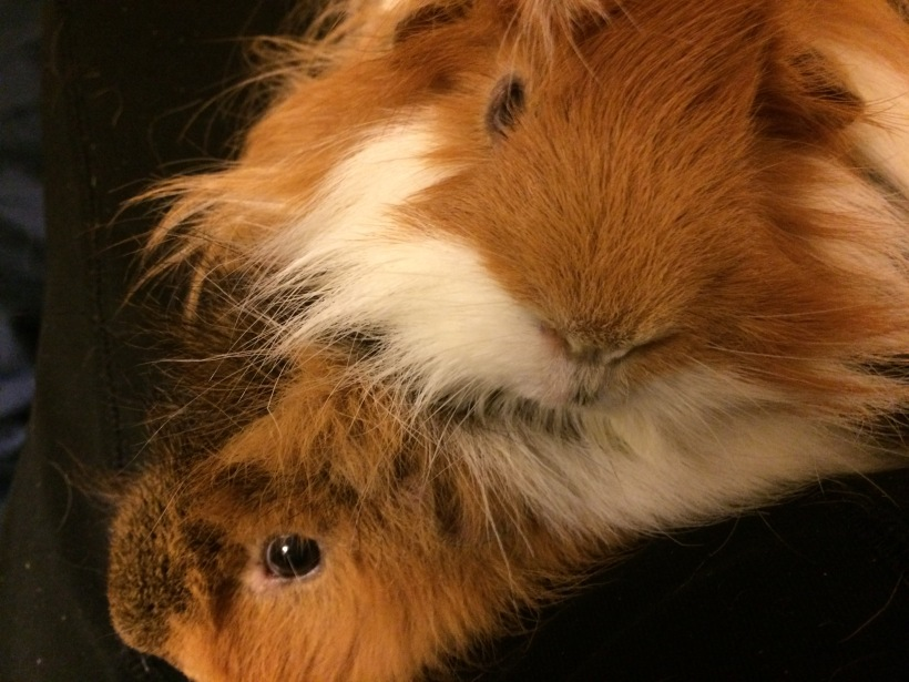 Squeaky the guinea pig sitting on top of Zippy