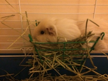 guinea pig sitting in a hay manger