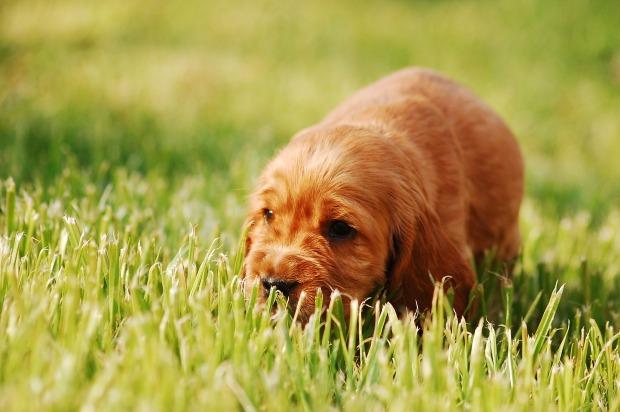 gold cocker spaniel puppy