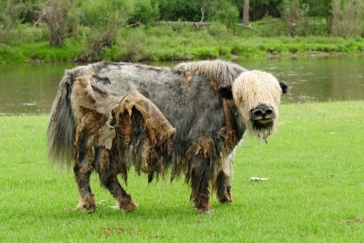 shaggy yak