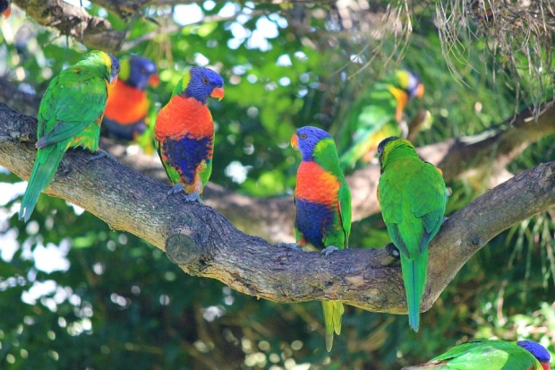 rainbow lorikeets perched on a branch