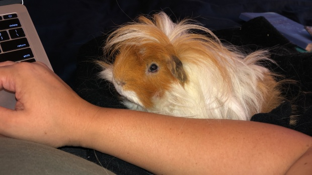 guinea pig sitting beside mom