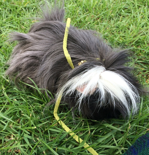 guinea pig on a leash