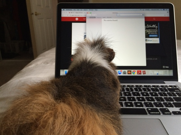 guinea pig looking at a laptop screen