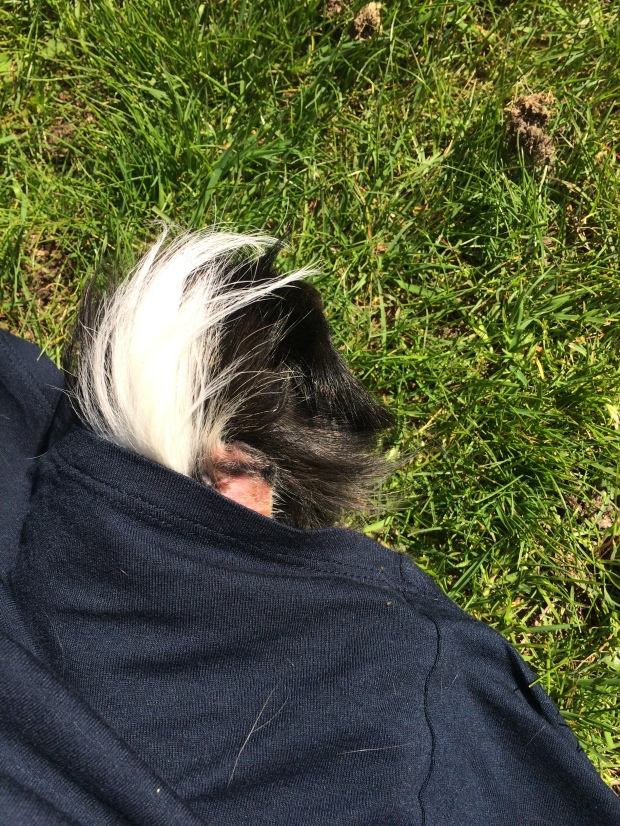 guinea pig eating grass while partly hidden under mom's skirt