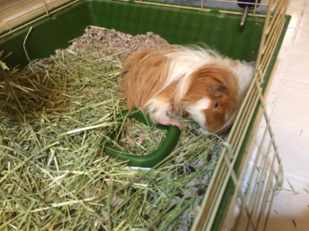 guinea pig curled up in a corner sleeping