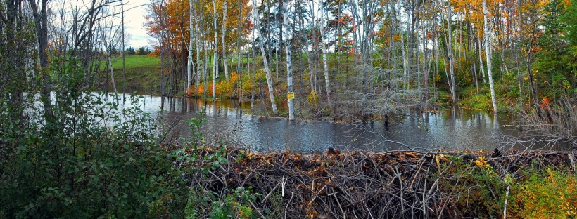 beaver dam on a stream