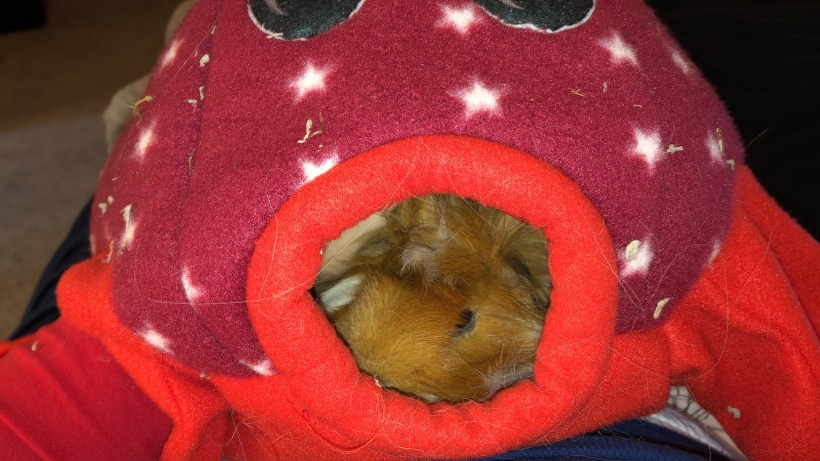 guinea pig inside octopus snuggly