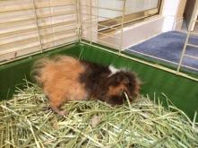 sleeping guinea pig boy