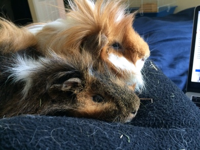 guinea pig boys cuddling