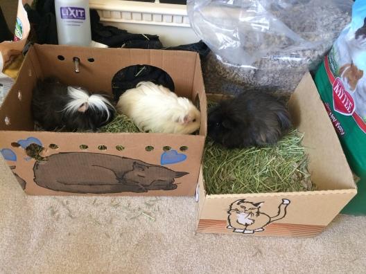 guinea pigs visiting grandma's house