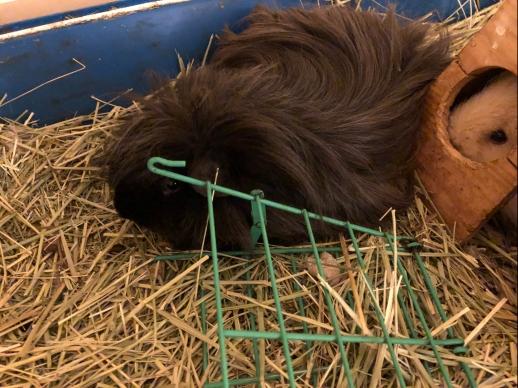 guinea pig cuddled up against hay manger