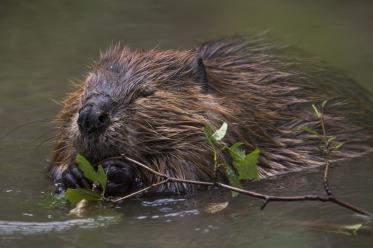 beaver in a stream