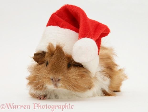 guinea pig wearing santa hat
