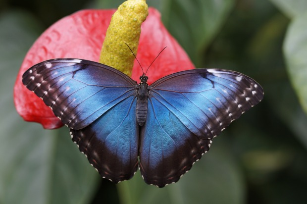 blue butterfly on tropical plant