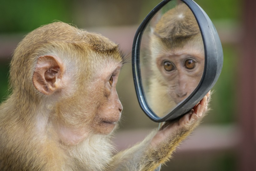 monkey looking in a mirror