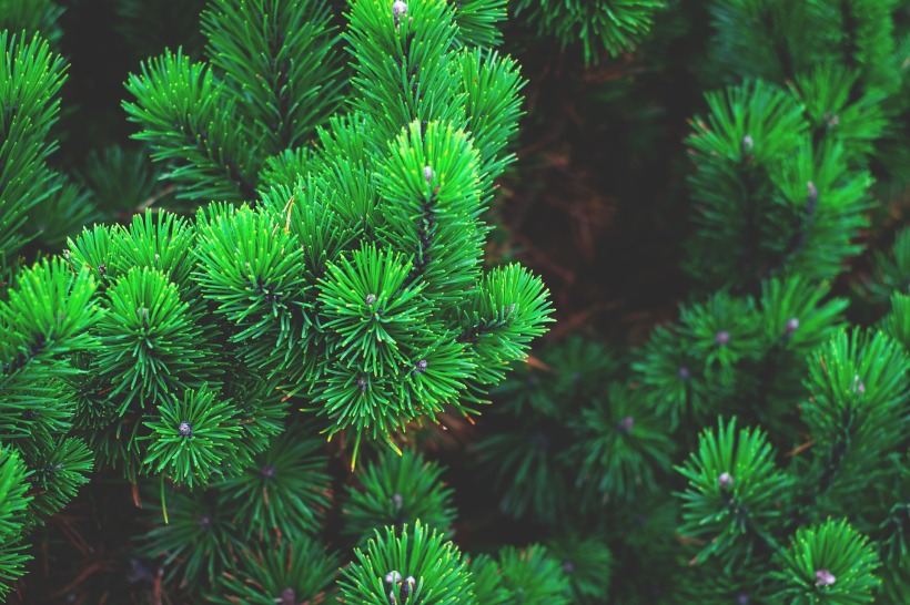 evergreen pine branches