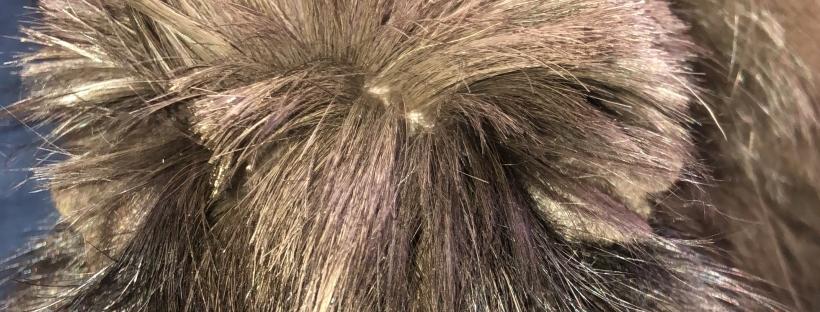 guinea pig with short shaggy hair