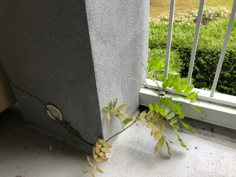 vine climbing up balcony