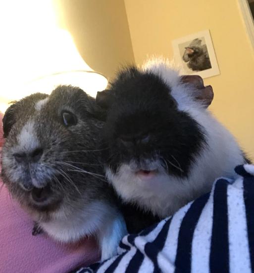 guinea pigs sitting on mom's lap