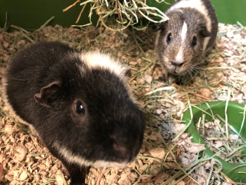 2 guinea pigs looking at the camera