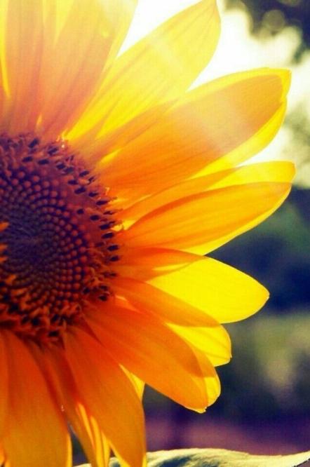 Sunflower backlit by sunshine