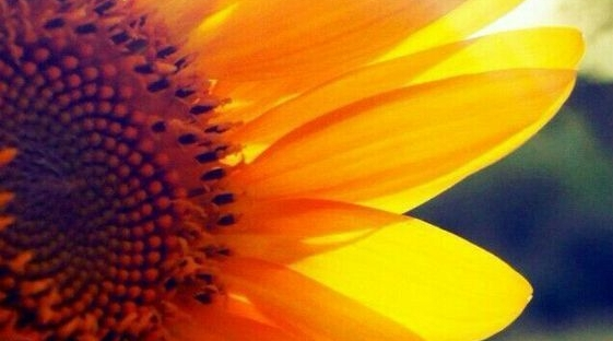 Sunflower backlit by sunshine